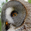 Portrait of Great Grey Owl made in small zoo — Stock Photo