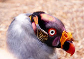 Portrait of king vulture — Stock Photo