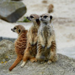 Stock Photo: Vigilant meerkat family