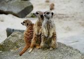 Vigilant meerkat family — Stock Photo