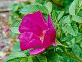 Flower of Rugosa rose macro — Stock Photo