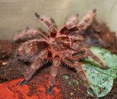 Mexican orange tarantula spider — Stock Photo