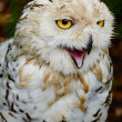 Young snowy owl is angry — Stock Photo #28989975