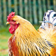 Stock Photo: Portrait of a rooster from Holland