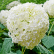 White hydrangea macro — Stock Photo