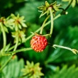 Wild berry strawberry macro — Stock Photo