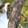 Stock Photo: Northern Flicker and Red-Bellied Woodpeckers