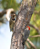 Northern Flicker and Red-Bellied Woodpeckers — Stock Photo