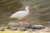 White Ibis (Eudocimus albus) — Stock Photo
