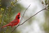 Northern Cardinal (Cardinalis cardinalis) — Stock Photo