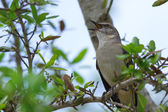 Northern Mocking Bird (Mimus polyglottos) — Stock Photo