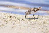 Least Sandpiper on Beach — Stock Photo