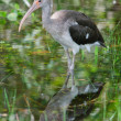 Stock Photo: Immature White Ibis