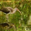 Juvenile White Ibis — Stock Photo