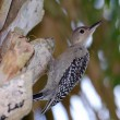 Immature Red-bellied Woodpecker — Stock Photo