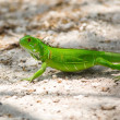Green Iguana — Stock Photo #30923343