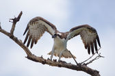 Osprey Wings up — Stock Photo