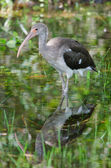 Immature White Ibis — Stock Photo