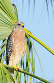 Red-shouldered Hawk — Stock Photo