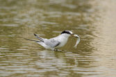 Least Tern Feeding — Stock Photo
