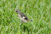 Hopping Mockingbird — Stock Photo