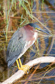 Green Heron (Butorides virescens) — Stock Photo