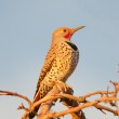 Northern Flicker — Stock Photo #45376571