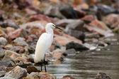 Watchful Egret — Stock Photo