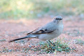 Townsend's Solitaire — Stock Photo