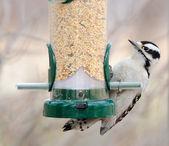 Female Downy Woodpecker — Stock Photo