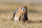 American Kestral Feeding — Stock Photo