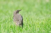 Juvenile European Starling — Stock Photo