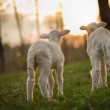 Foto Stock: Twin Lambs in Pasture