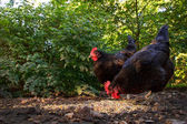 Two Hens in the Barnyard — Stock Photo