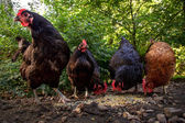 Five Hens in Their Barnyard — Stock Photo