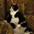Fat Cat on Recliner — Stock Photo