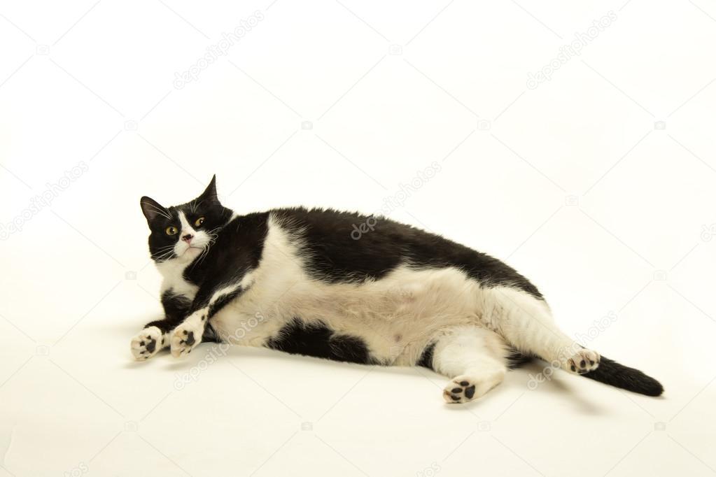 Gato Preto e Branco Gordo um Gato Preto e Branco Gordo