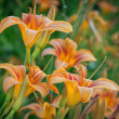 Stock Photo: Daylilies in Missouri