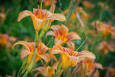Daylilies in Missouri — Stock Photo