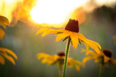 Black-Eyed Susan Wildflower in the Setting Sun — Stock Photo