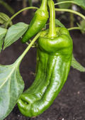 Pepper plant — Stock Photo