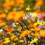 Wild Flowers, Namaqualand, South Africa — Stock Photo #22458645