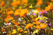 Wild Flowers, Namaqualand, South Africa — Stock Photo