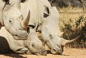белый носорог семья — Стоковое фото