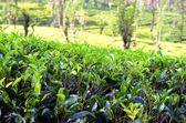 Tea leaves — Stock Photo