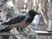 Crows in the wild — Stock Photo
