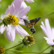 Butterfly - Brazhnik collects pollen from a flower — Stock Photo