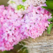 Close up flowering pink hyacinth on a soft background — Stock Photo