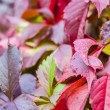 olorful red boston ivy leafs (Parthenocssus tricuspidta) - Stock Photo