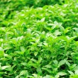 Stock Photo: Basil plant